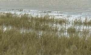 Excesso de chuva afeta a produção de arroz no Rio Grande do Sul