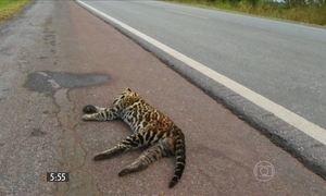 Atropelamento é a maior causa da morte de animais silvestres