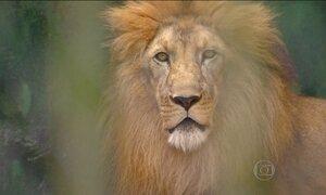 Leão que ficou viúvo sofre de solidão no zoológico de Aracaju