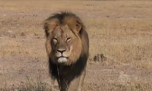 Americano que matou leão no Zimbábue diz que não fez nada fora da lei