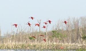 Globo Repórter revela por que a plumagem dos guarás fica vermelha