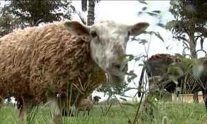 Prefeito usa carneiros para capinar terrenos em Irapuã