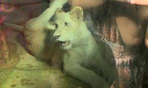 Primeira leoa branca do Brasil, Clara comemora 1 ano com bolo de carne