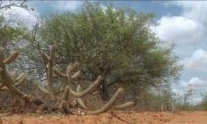 Seca mata umbuzeiros no sertão pernambucano