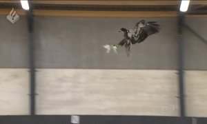 Polícia holandesa treina águias para capturar drones ilegais
