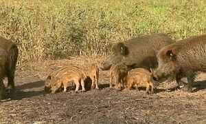 Javalis selvagens são alvo de caçadas cruéis