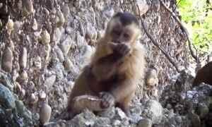 Macacos fazem 'ferramentas' como as de ancestrais do homem no Piauí