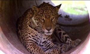 Onças criadas em cativeiro são devolvidas ao Pantanal