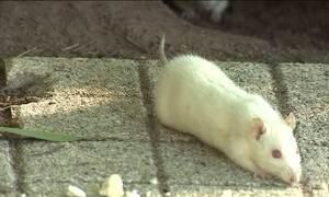 Parque da Redenção, em Porto Alegre, é invadido por ratos brancos