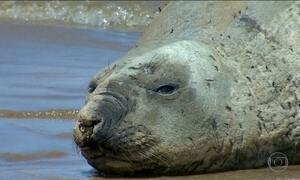 Praia do ES tem atração turística que vem de longe: um elefante marinho