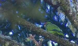 Biólogos e agricultores trabalham para preservar o papagaio-charão