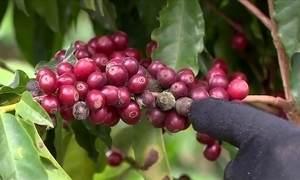 Chuva prejudica a colheita do café produzido no ES e em MG
