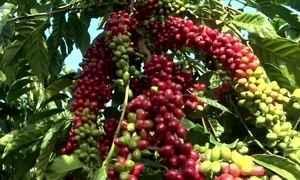 Lavouras de café conilon da BA se recuperam e produção deve crescer
