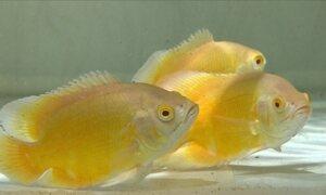 MG concentra o principal polo de criação de peixe ornamental do Brasil