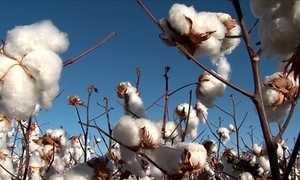 Chuva colabora para o aumento da produção de algodão na BA