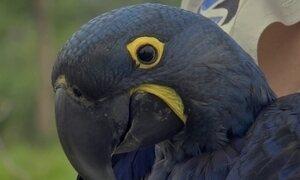 Tecnologia ajuda na preservação da arara azul, espécie tipicamente brasileira