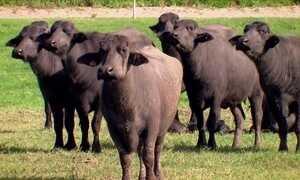 Criação de búfalos no semiárido dá certo mesmo em cenário adverso