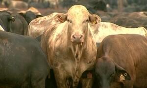 Pecuaristas de Barretos (SP) vendem gado vivo para a Turquia