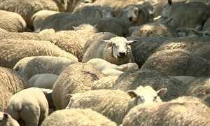 Cães treinados podem ajudar a prevenir ataques de onças a ovelhas
