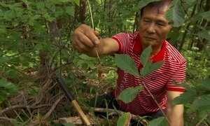 Ginseng da montanha pode chegar a valer R$ 1 mil na Coreia do Sul