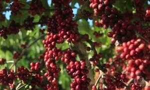 Começa a colheita de café em Rondônia