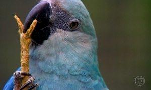 Ararinha azul ganha refúgio e proteção no interior da Bahia
