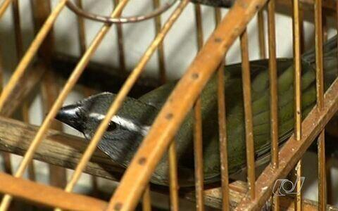 PM apreende 32 pássaros em cativeiro