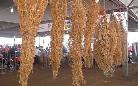 Concurso reúne agricultores para descobrir o maior pé de soja solteiro