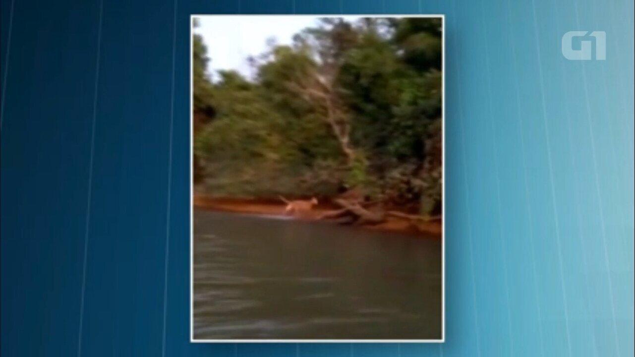 Resultado de imagem para Onça nada em São Pedro do Paraná,
