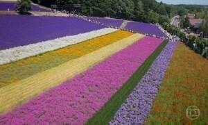 Campos de flores de Hokkaido atraem visitantes de todo o Japão
