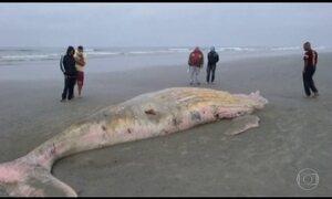 Duas baleias são encontradas mortas no litoral de Santos (SP)