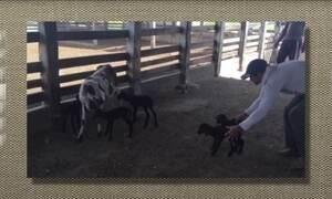 Ovelha da raça Santa Inês dá à luz cinco cordeirinhos