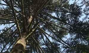 Existe uma árvore que absorva gás carbônico e libere oxigênio mais do que as outras?