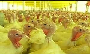 Em Goiás, criadores de perus têm 175 mil aves à espera de abate