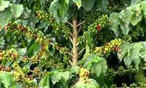 Veja qual o volume necessário de água para irrigar 15 mil pés de café