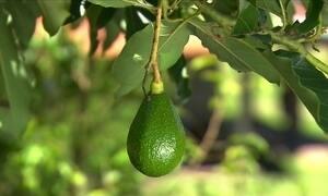 Saiba a hora ideal de podar a plantação de abacate