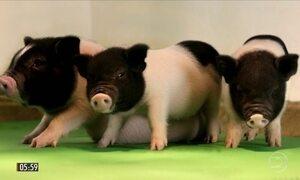 Pesquisadores dos EUA desenvolvem porcos para obter órgãos para transplantes humanos