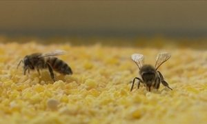 Quirera ou canjiquinha pode atrair abelhas