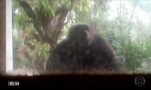 Invasão de chimpanzés assusta moradores de casa em Sorocaba (SP)