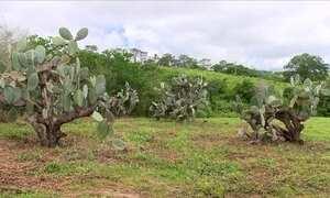 Agrônomo explica correção de problema com fungo na plantação de palma