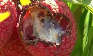 Armadilhas reduzem o prejuízo nas plantações de lichia