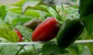 A hidroponia serve para quem quer plantar pimentão?
