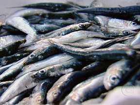 Sardinha portuguesa tem mais cálcio que o leite - Um estudo recente provou que comer sardinha reduz mesmo o risco de problemas cardiovasculares. O peixe, em conserva, em lata, tem muito mais cálcio. Ou seja, é melhor pensar duas vezes antes de jogar a sua espinha no lixo.