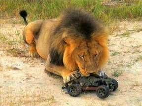 Cristian Dimitrius mostra a engenhoca que permitiu aproximação com leões - Carrinho de controle remoto captou belíssimas imagens