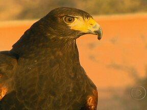 Águia e falcão são criados como animais de estimação em Dubai - Hoje, os falcões e as águias não são mais usados como caçadores em Dubai. Eles são criados por treinadores especializados que tentam preservar as características mais fortes destas aves.