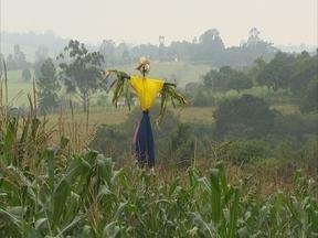 Espantalho: o protetor das lavouras de milho! - Ele foi criado para espantar as aves das plantações. Mas por que será que o espantalho anda tão sumido das nossa áreas rurais?
