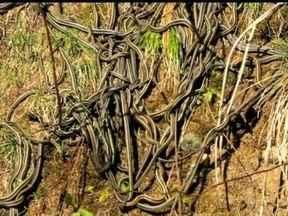 Domingão Aventura: a cachoeira de cobras do Canadá - Cidade do interior do Canadá é infestada de cobras e convive com verdadeira multidão delas