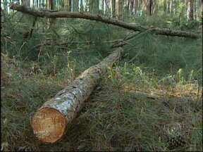 Trabalhador rural morre após ser atingido por árvore em Guareí, SP - Um motociclista morreu nesta segunda-feira (6) depois de ser atingido por uma árvore que caiu em uma estrada rural em Guareí (SP). O acidente foi no bairro Capivari, ao lado de uma propriedade com plantação de pinus.