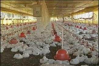 Donos de granjas de frango acumulam prejuízo em Torrinha, SP - Muitos barracões estão vazios e criadores não vêem solução a curto prazo. Empresa que recebia as aves entrou em concordata no ano passado