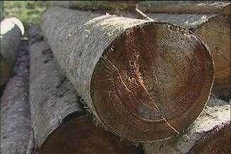 Produtor de Ribeirão Branco, SP, aposta no cultivo de cedro - Duas espécies são cultivadas. Uma é originária da Austrália e a outra, da Índia. São quase 500 mil pés em um investimento de longo prazo